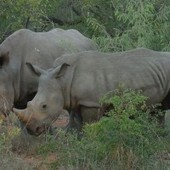 Rhino Horn Bad Medicine Says New WWF 'Toenails For Cancer' Campaign | Kruger & African Wildlife | Scoop.it