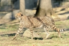 Can the Cheetah Outrun Extinction? - Extinction Countdown - Scientific American Blog Network | Sustain Our Earth | Scoop.it