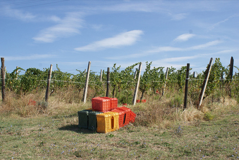 Harvest in full swing at Pievalta in Castelli di Jesi | Wine, history and culture... | Scoop.it