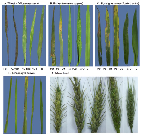 bioRxiv: Wheat blast disease caused by Pyricularia graminis-tritici sp. nov. (2016) | Rice Blast | Scoop.it