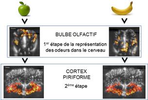 Pister la perception des odeurs dans le cerveau avec les ultrasons - Techno-science.net   Le vin quotidien   Scoop.it