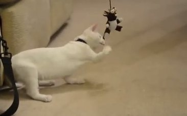 Daily Cute: Disabled Rescued Cat Named Harvey Learns How to Walk | This Gives Me Hope | Scoop.it