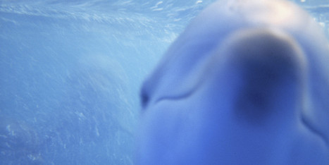 What It Means To Say A Dolphin Committed Suicide | All about water, the oceans, environmental issues | Scoop.it
