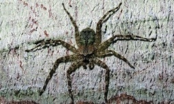 Explore: Spiders skydive to safety from Rainforest Canopies! | Rainforest EXPLORER:  News & Notes | Scoop.it