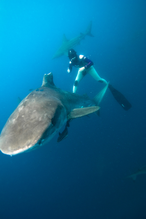 Thalassa du 15/02/13 : quel dommage… Thalassa Feb.15, 2013 : what a disapointment…   PROTECTION-REQUINS   requins   Scoop.it