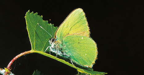 Butterfly Inspires Nanodevice | Biomimicry | Scoop.it