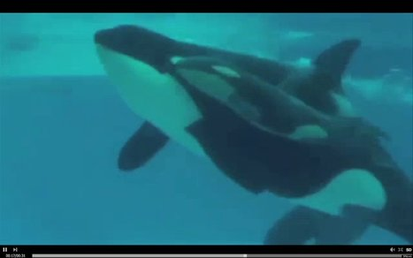 WATCH: Sea World Killer Whale Gives Birth Underwater | Amocean OceanScoops | Scoop.it