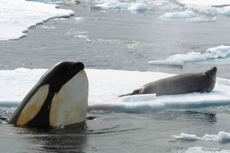 Orcas are first non-humans whose evolution is driven by culture | Biologie in de klas | Scoop.it