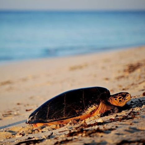 Marine turtles' nesting troubles attributed to continuing drought | All about water, the oceans, environmental issues | Scoop.it