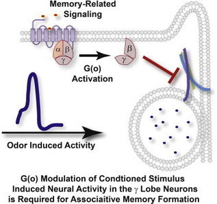 Presynaptic Inhibition of Gamma Lobe Neurons Is Required for Olfactory Learning in Drosophila | Drosophila Neurobiology | Scoop.it