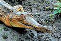 Scientists uncover new crocodile in Africa | Africa | Scoop.it