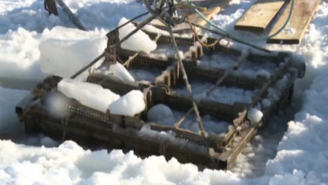 Harvesting Canadian oysters can be an Icy Job | OI Newsletter - A web family | Scoop.it