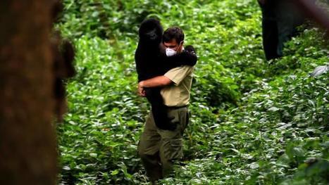 La guerre aux portes du Parc des Virunga | Virunga - WWF | Scoop.it