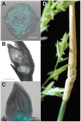 PLOS Genetics: Plant-Symbiotic Fungi as Chemical Engineers: Multi-Genome Analysis of the Clavicipitaceae Reveals Dynamics of Alkaloid Loci | Virology and Bioinformatics from Virology.ca | Scoop.it