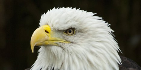 As Utah Bald Eagle Deaths Climb, Scientists Look For Answers - Huffington Post | Raptors | Scoop.it