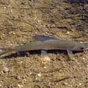 Michigan Arctic Grayling Initiative – Freshwater Fishing News | Freshwater Fishing | Scoop.it
