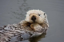 Re-Introduction of Sea Otters Going Too Well, Some Say | Marine Science Today | Wildfowl and Wetland Trust | Scoop.it