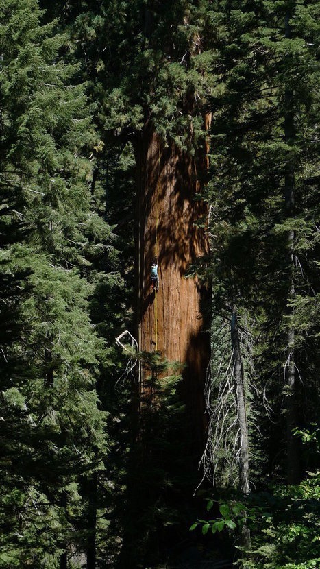 How Climbing The World's Tallest Trees May Help Heal The Planet | Our Evolving Earth | Scoop.it