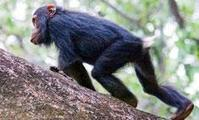 When it comes to food, chimps only think of themselves | Social Foraging | Scoop.it