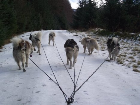 Becky & Dai Lewis, Steelpaw CID, UK | Home of the Pure Sled Dog | Sleddog | Scoop.it