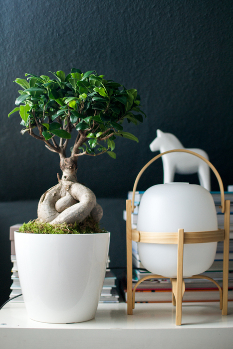 Plant of the Month: Ficus Ginseng · Happy Interior Blog   All Topics   Scoop.it