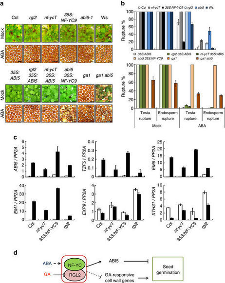 The NF-YC–RGL2 module integrates GA and ABA signalling to regulate seed germination in Arabidopsis | SEED DEV LAB Biblio | Scoop.it