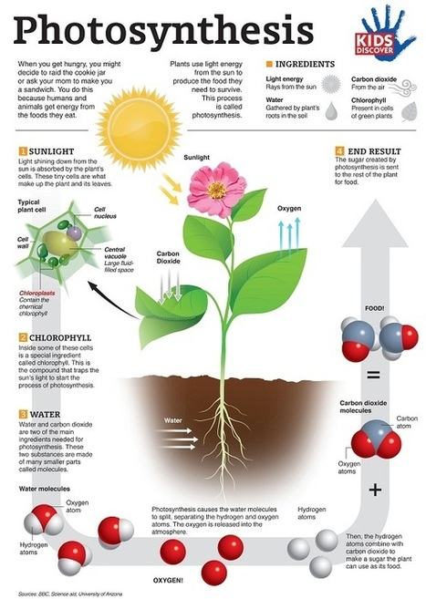 PhotosynthesisFINAL-resized.jpg (584x822 pixels) | Science | Scoop.it