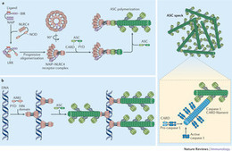Inflammasomes: mechanism of assembly, regulation and signalling : Nature Reviews Immunology : Nature Publishing Group | immunology | Scoop.it