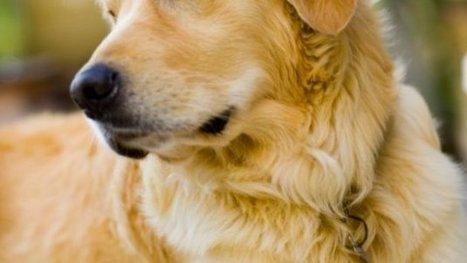 Service Dog Trainer: Dogs Provide 'Comfort, Peace, Empathy' - KMBZ | Dog behavior | Scoop.it