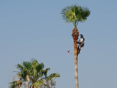Garden column: Please don't over-prune the palms | Forestry Conservation | Scoop.it