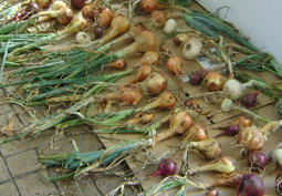 How to Harvest and Store Onions | Sustain Our Earth | Scoop.it