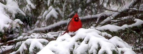 Cardinal in the Snow | Gardening Life | Scoop.it