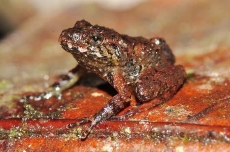 """Missing """"Rain Frog"""" Resurfaces in Honduras: Freshwater Species of ...   IB Freshwater   Scoop.it"""