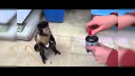 Un mono en pañales se compra un refresco en una máquina y espera el cambio | Saber diario de el mundo | Scoop.it