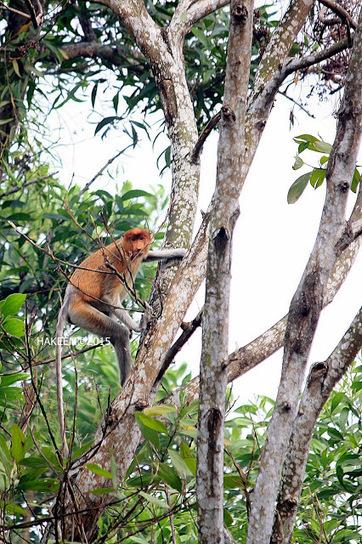 Photo 195   BEKANTAN -WILD INDONESIA   Bekantan - Wild Indonesia   Scoop.it