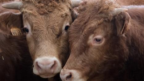 Würdest du weiter Fleisch essen, wenn Tiere sprechen könnten? | Agrarforschung | Scoop.it