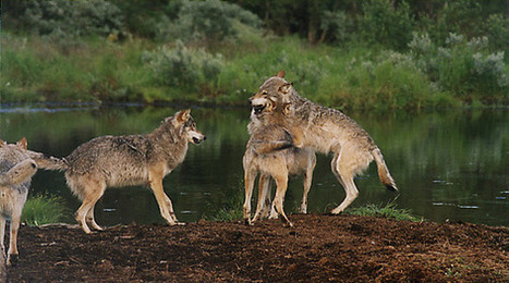 Krever utvidelse av ulvesonen - naturvernforbundet.no   Rovdyrkonflikt2   Scoop.it