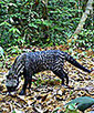 Small Rainforest Predators Are Photographed and Studied in Gabon   South America   Scoop.it