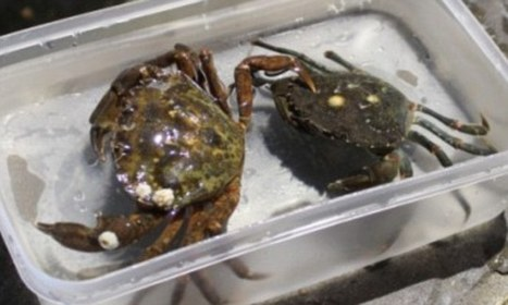 Shock and claw! Two confused crabs take a long-haul holiday | Global Aquaculture News & Events | Scoop.it