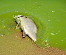 Extreme Algae Blooms: The New Normal? | Sustain Our Earth | Scoop.it