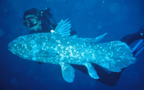 The African coelacanth Latimeria - a living fossil - got its genome sequenced | Amazing Science | Scoop.it