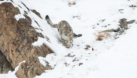 Snow Leopards Found in Six Valleys of Uttarakhand | India Travel & Tourism | Scoop.it