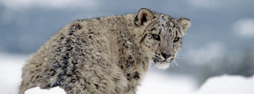Snow Leopards - Conservation International | HELPING ANIMALS IN DANGER by Oumnia | Scoop.it