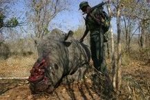 The Smuggle Route For South African Rhino Horn | What's Happening to Africa's Rhino? | Scoop.it