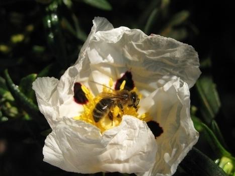 INRA - abeilles et ressources florales | Abeilles, intoxications et informations | Scoop.it