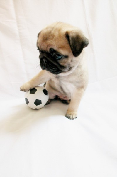 pug soccer | pedro sanchez | Scoop.it
