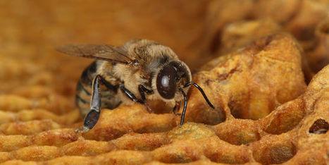 Les néonicotinoïdes, un puissant contraceptif pour les abeilles mâles - Le Monde | Agriculture en Dordogne | Scoop.it