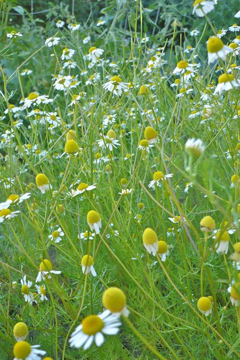 Dandelion Revolution » Chamomile ~ The Ubiquitous Botanical?   D.I.Y. Herbalism   Scoop.it