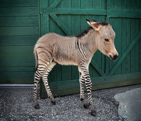 Meet Ippo, The Adorable Zonkey Who is Half Zebra, Half Donkey | Science Bit Favourites | Scoop.it