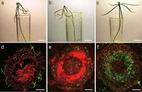 Scientific Reports: Secret lifestyles of Neurospora crassa: can it be a plant pathogen? (2014) | Plants and Microbes | Scoop.it